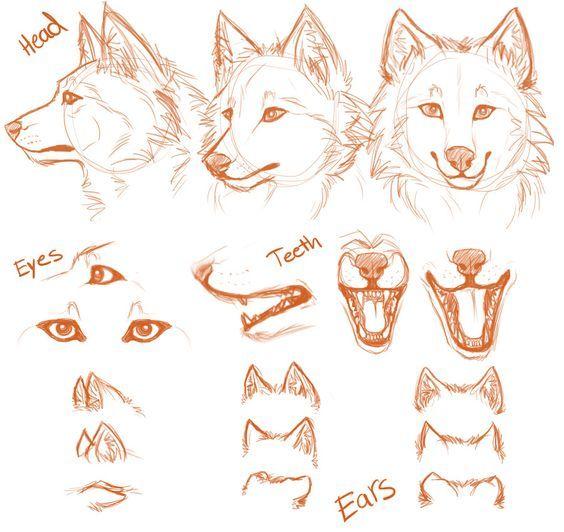 Resultado de imagem para anatomia desenho lobo | Kurs psowate ...