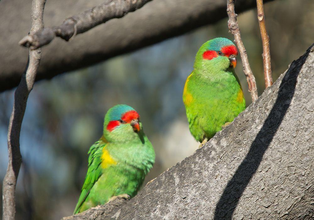 Musk Lorikeet Australian birds, Beautiful birds