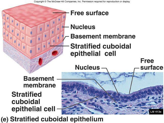 Stratified Cuboidal Epithelium  protection of larger