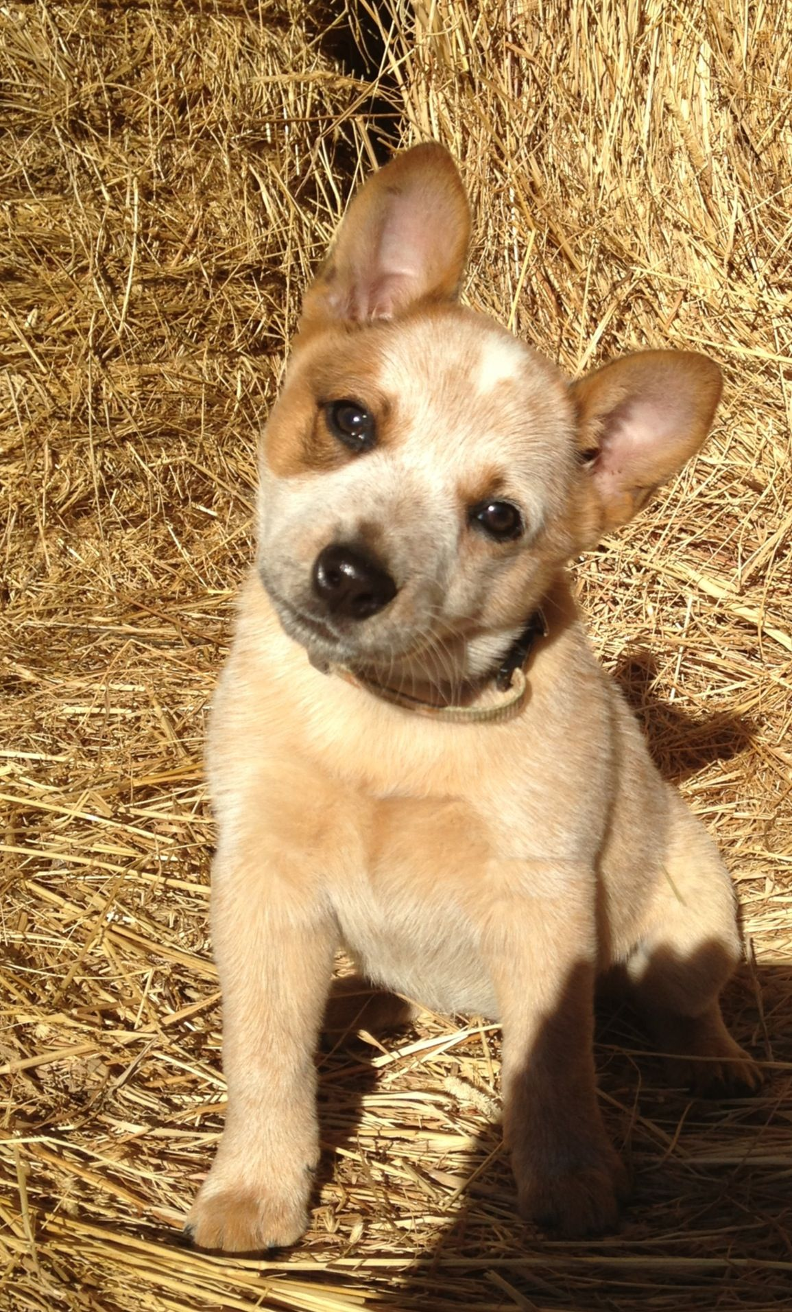 Pin By Jaclyn Tomlinson On Blue Red Heeler Cattle Dogs