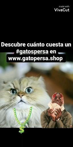 Sabes Cuánto Cuesta Un Gato Persa Video Gato Persa Gato Persa Bebe Gatos