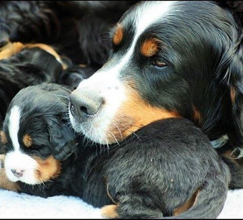 #puppies #bernesemountaindog #bernesemountaindogpuppy #bernesepuppy #bernersennenhund #bernersennen #Mocca have a nice pillow ❤️❤️❤️