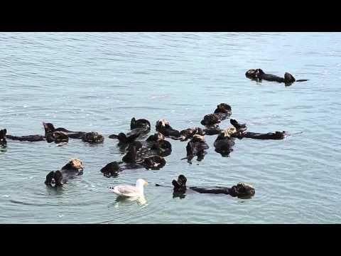 Lots of California Sea Otters Sleeping - YouTube