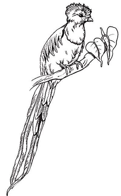 The Quetzal Dibujos El Quetzal Dibujos A Lapiz