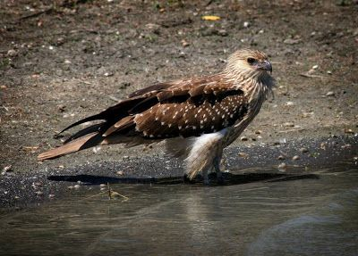 Images by Christine Walsh: Bird of Prey, young whistling kite. NT.