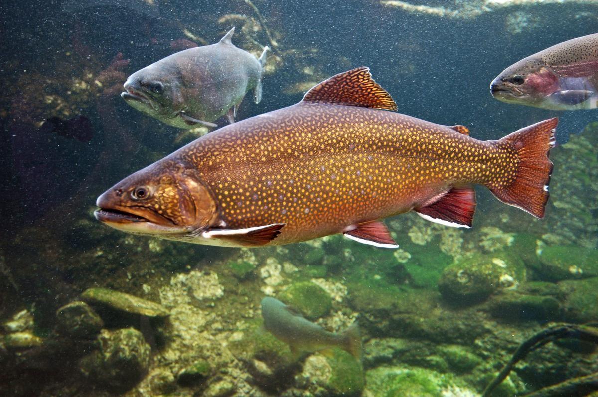 West Virginia State Symbols Fish