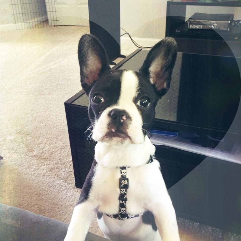 Frenchton Looking For One To Adopt Sometime This Spring So Excited Boston Terrier Kitten Love Dog Care