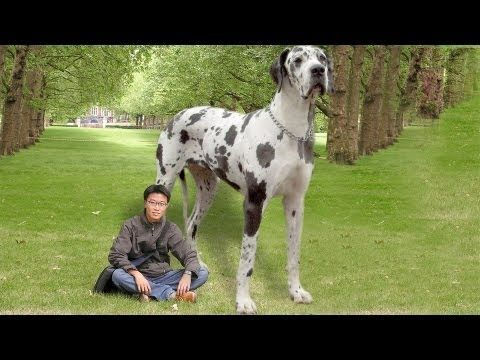 Cutest Dog In The World Guinness 2013 the world's largest dog | wow! | pinterest | largest dog, dog and
