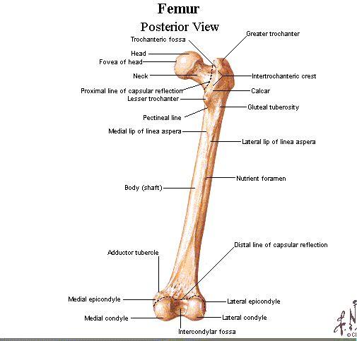 Bony Landmarks Of The Femur Posterior View Anatomybones