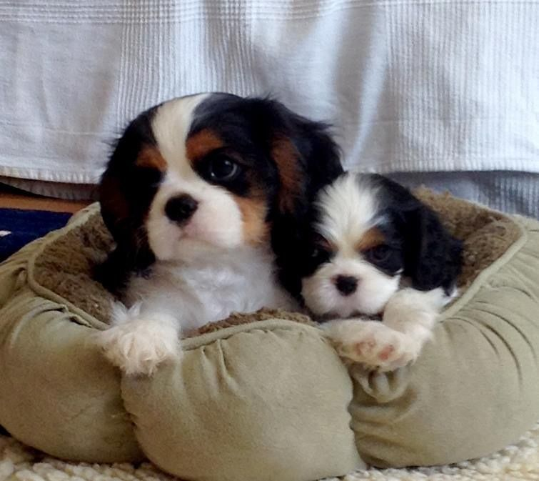 Does It Get Any Cuter Than 2 Snuggling Cavi S King Charles