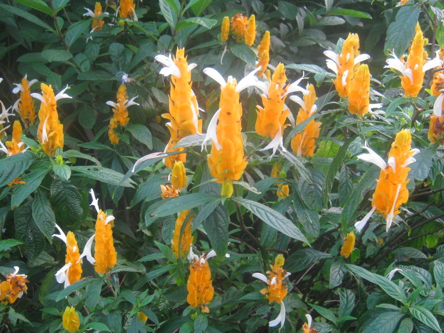 tropical flowers for temperate gardens yellow shrimp plant