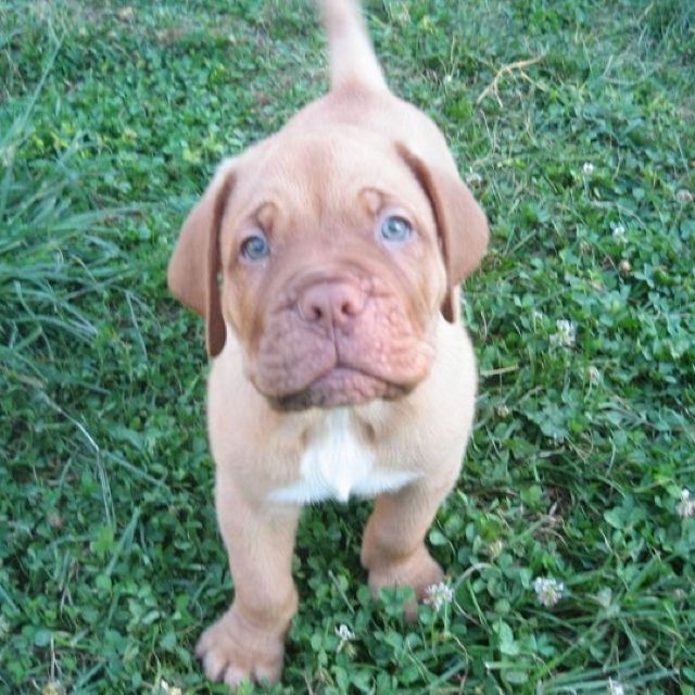 My Stud French Mastiff Puppy