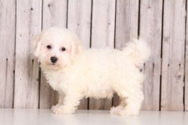 Puppies For Sale In Ohio And Nationwide Bichon Frise Puppy Puppies For Sale Bichon Frise