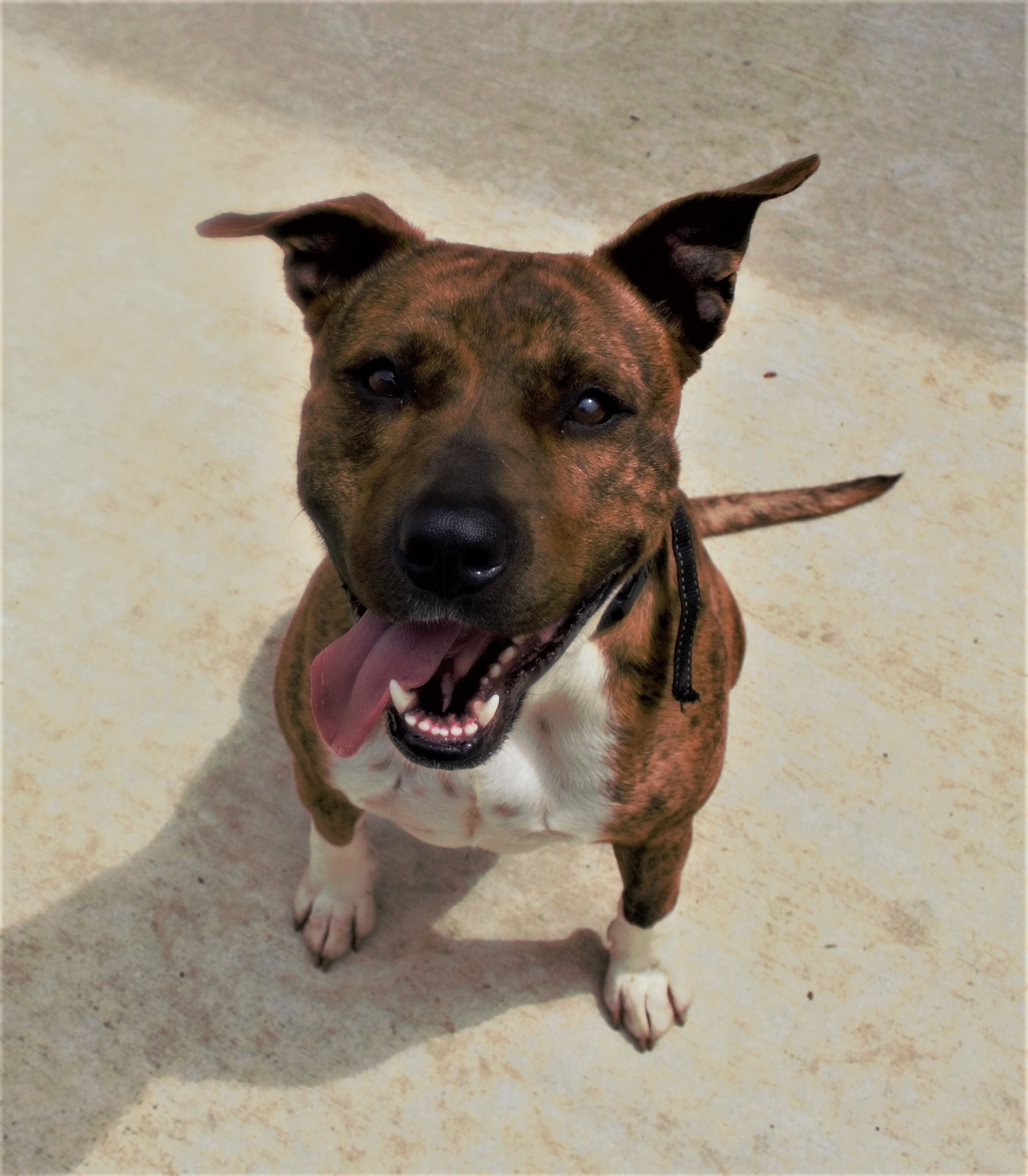 Porter is an adoptable american staffordshire terrier searching for a forever family near Lytle, TX. Use Petfinder to find adoptable pets in your area.