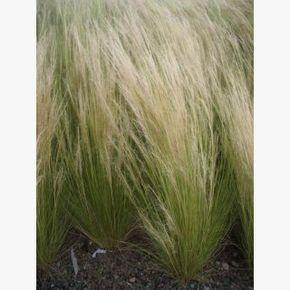 Engelshaargras-Stipa tenuissima