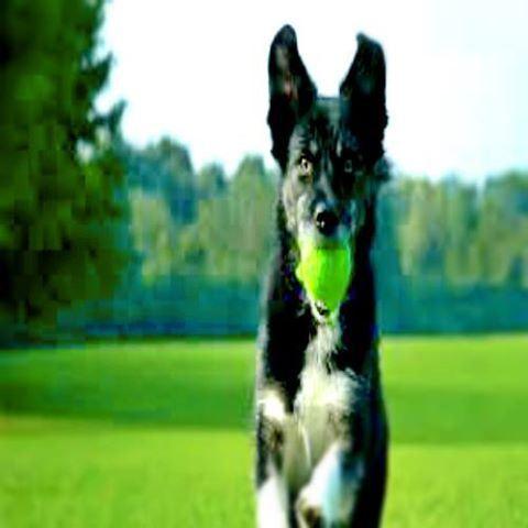 Running Dog Green Field Dog Training Dog Clicker Training