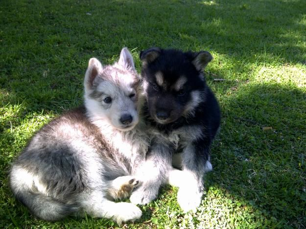 Shepherd And Husky Puppy Together Cute Animals Husky Animals