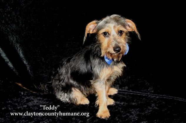 Adopt Teddy On Petfinder Dachshund Mix Yorkshire Terrier Dogs