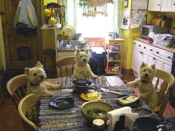 Image result for westie dog, in the livingroom