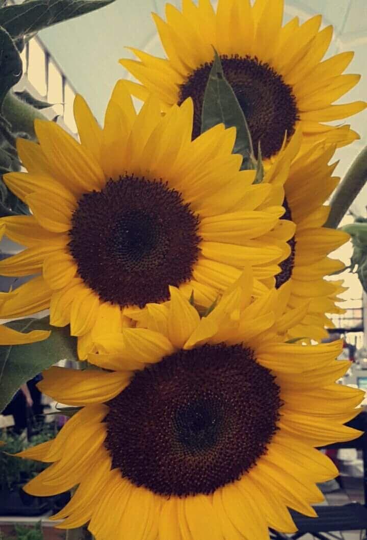 Sunflowers Flores Bonitas Girasoles Fondos De Paisajes Flores