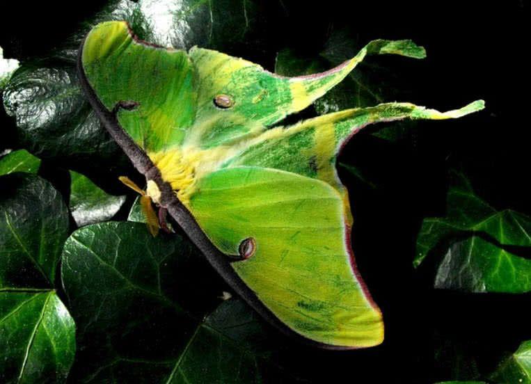 Luna Moth | Luna moth, Luna moth symbolism