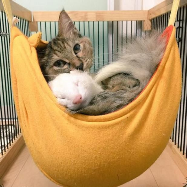 Rescue Kitten Adopted By Ferrets Now Thinks Shes A Ferret Too - Rescued kitten adopted by ferrets now thinks shes a ferret too