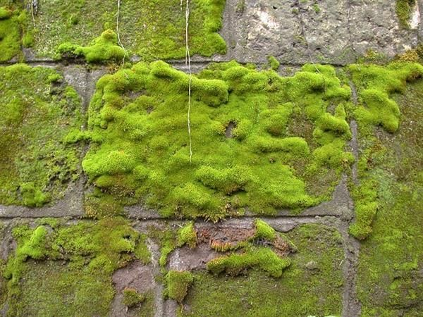 Mossy Cement Brick Wall Fence Garden Projects Growing Moss Types Of Moss