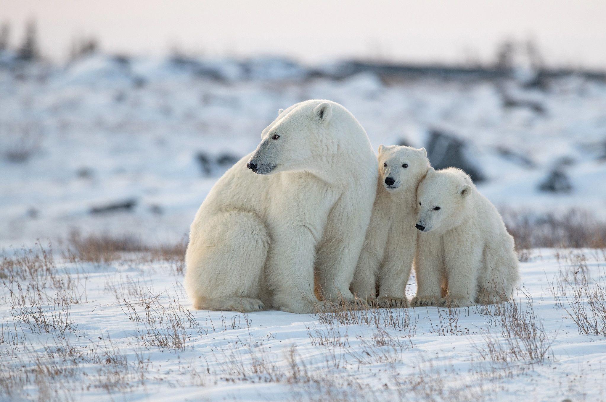 Animal Polar Bear Bears Wildlife Predator Snow Hd Wallpaper Background Image Wallpaper Cart Polar Bear Animals Bear Wallpaper