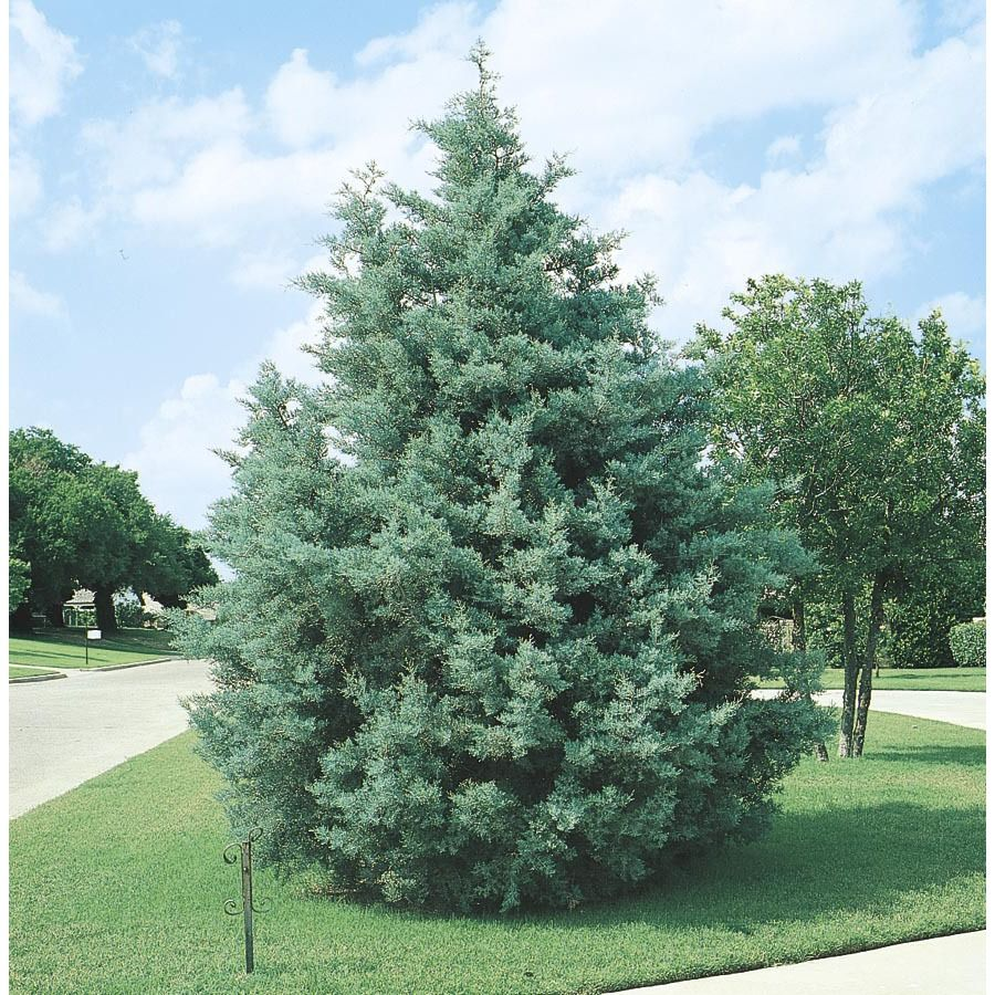 2 25 Gallon Arizona Cypress Screening Tree From Lowe S Get For Curb Screening Potted Trees Backyard Landscaping Plants