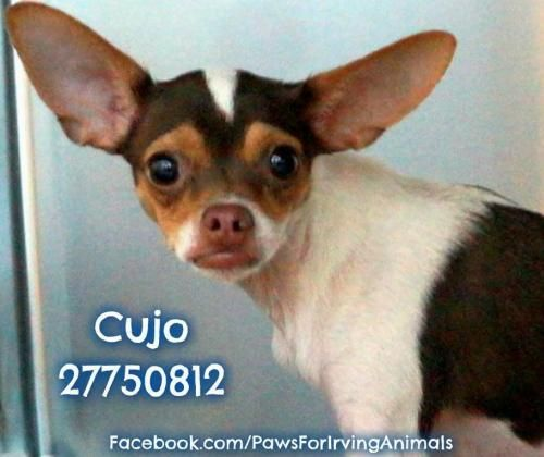 Adopt Cujo Texas On Chihuahua Chihuahua Mix Dogs
