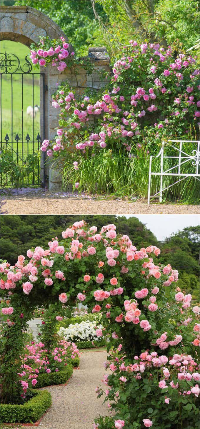Piante Di Rose Rampicanti 20+ favorite flowering vines and climbing plants