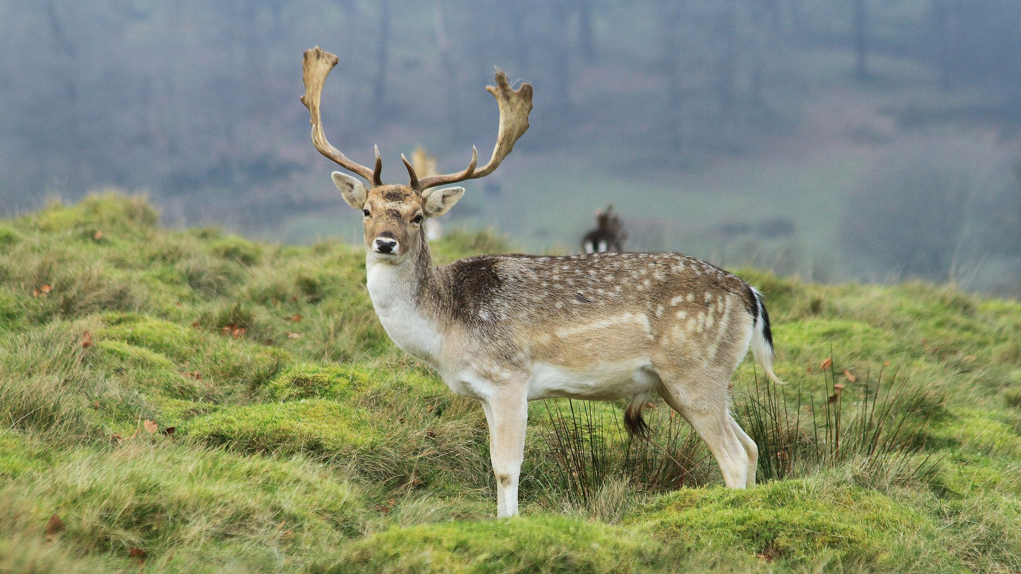 Beautiful Fallow Deer Stag in Petworth Park explore