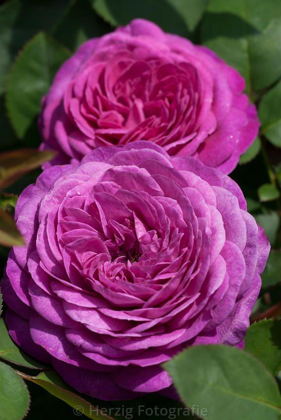 rose heidi klum zwergrose tantau rosaceae misc pinterest rose beautiful roses and. Black Bedroom Furniture Sets. Home Design Ideas
