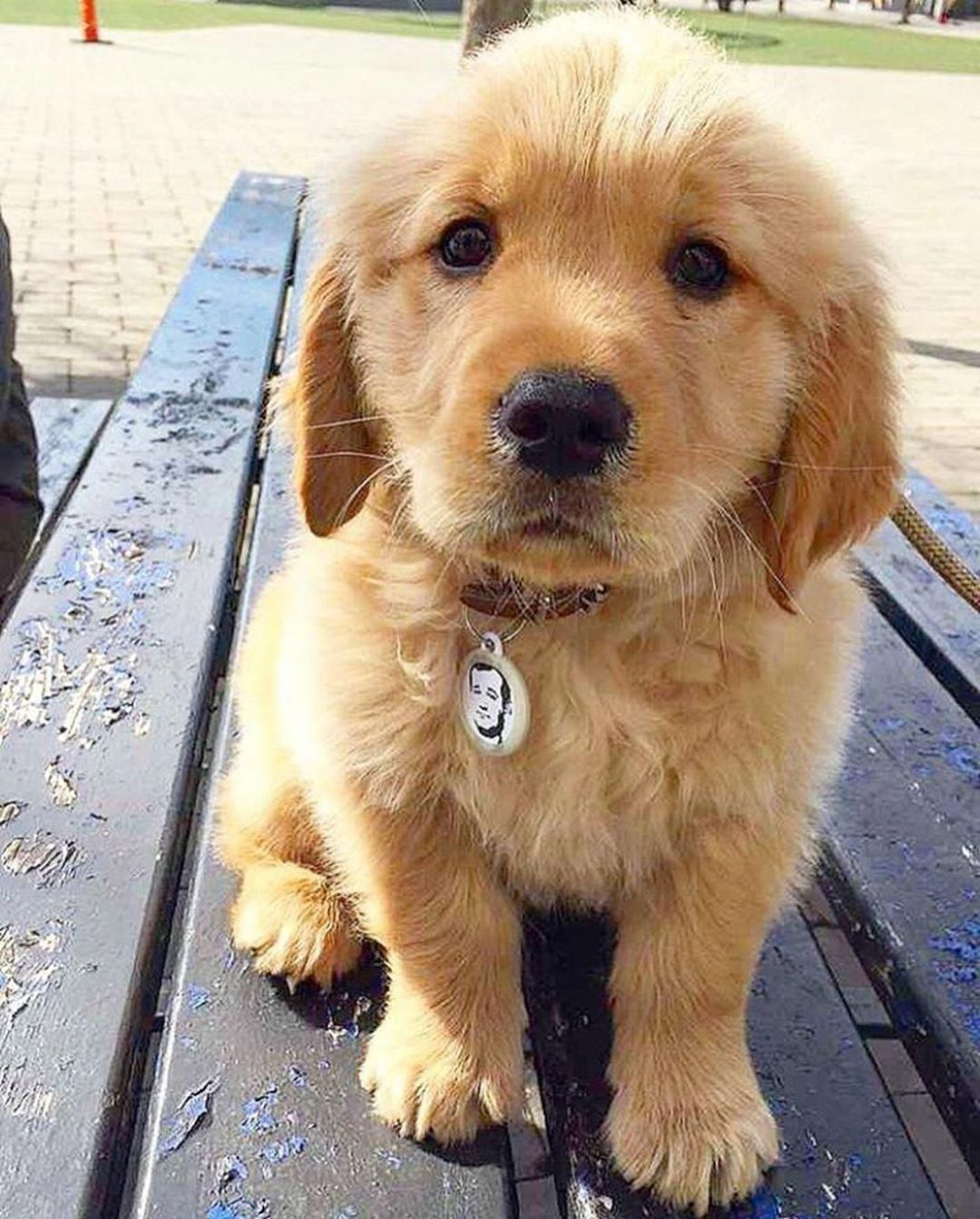 The Traits We All Like About The Devoted Golden Retriever Puppy