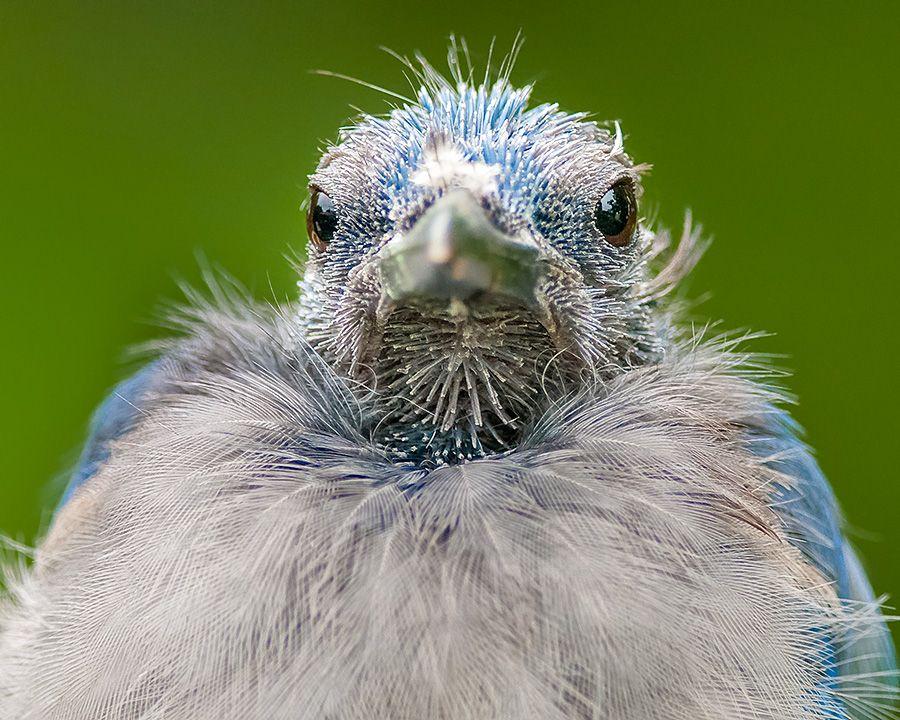 Molting Blue Jay Closeup Blue Jay Beautiful Birds Molt