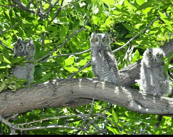 ♡♡♡ Baby Owls in my neighbor's tree in Middleton, Idaho 4 September 2015 ♡♡♡