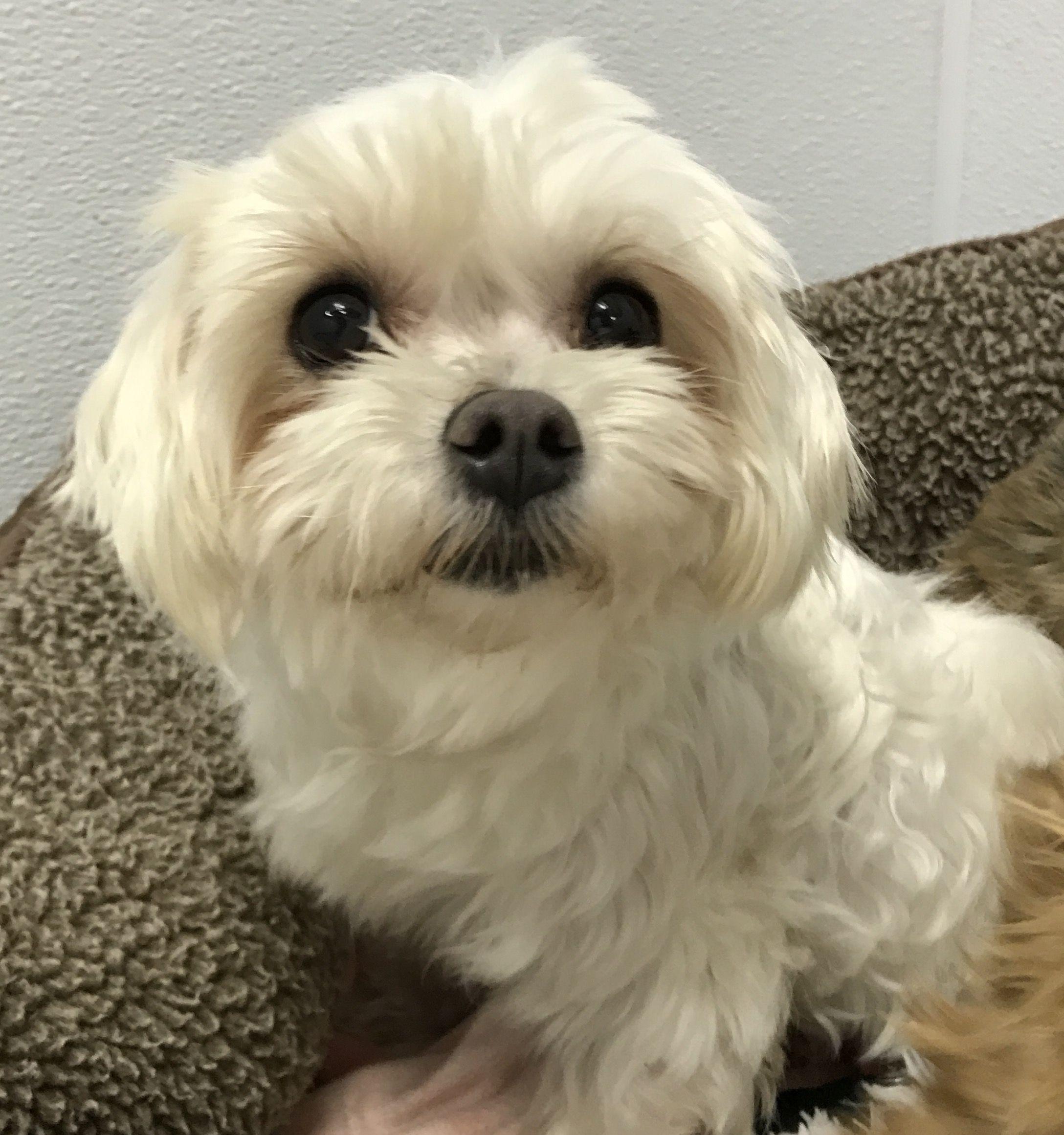 Maltese Dog For Adoption In Holden Mo Adn 451949 On Puppyfinder