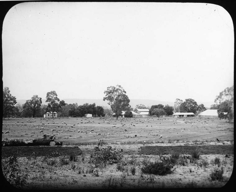 090664PD: Sheep grazing in front of buildings at Henley Park, probably taken at the time of Henry John Saunders, ca. 1900. https://encore.slwa.wa.gov.au/iii/encore/record/C__Rb4728566