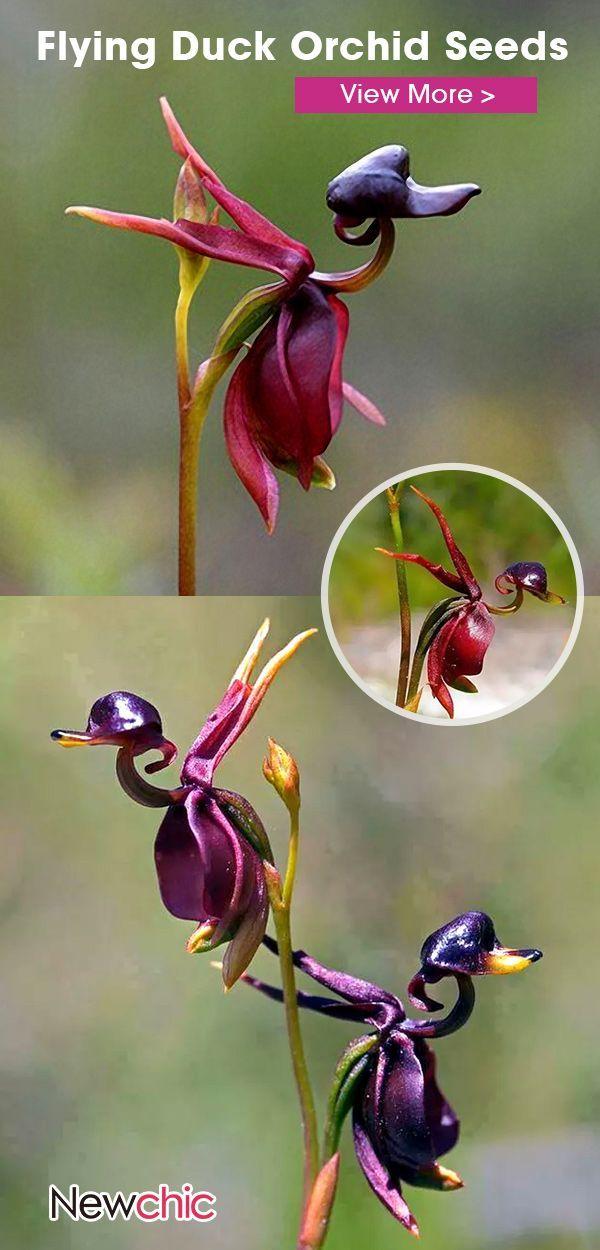50 offEgrow 100PcsPack Caleana Major Flying Duck Orchid Seeds Garden Pot100pcspack