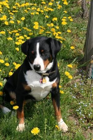 Der Appenzeller Sennenhund Swiss Mountain Dogs I Love Dogs Dogs