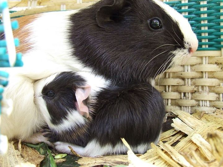 Pin On Animals Guinea Piggies