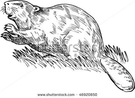 Vector Hand Sketched Drawing Illustration Of A European Beaver Or