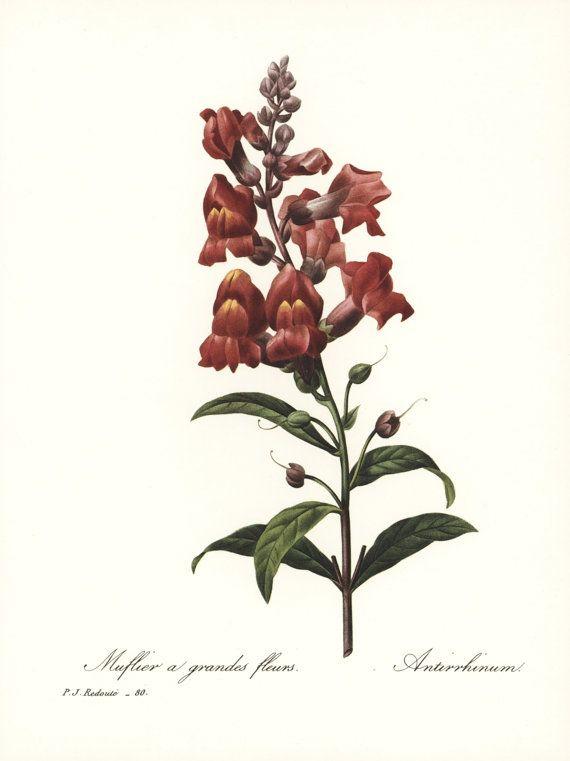 Botanical Illustration Vintage Flower by ParagonVintagePrints, $4.50