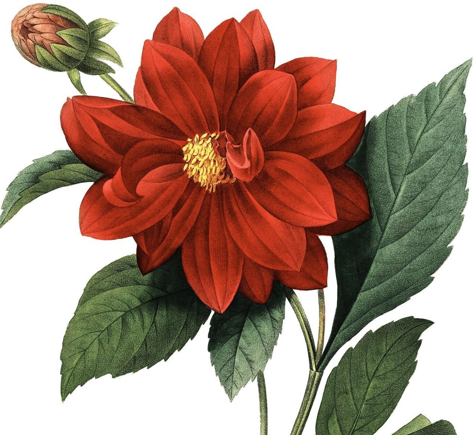 Red Dahlia Museum Quality Printable Download Super Hi Res Scan Etsy In 2020 Botanical Prints Vintage Botanical Prints Botanical Flowers