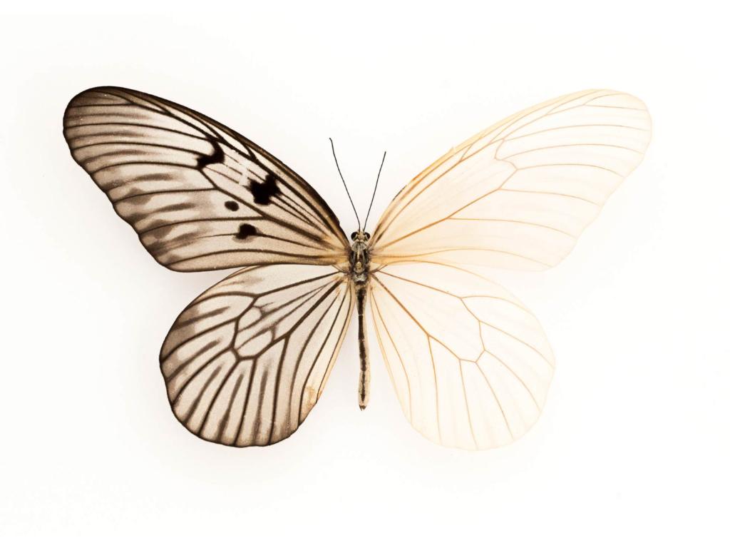 Скелет бабочки картинки
