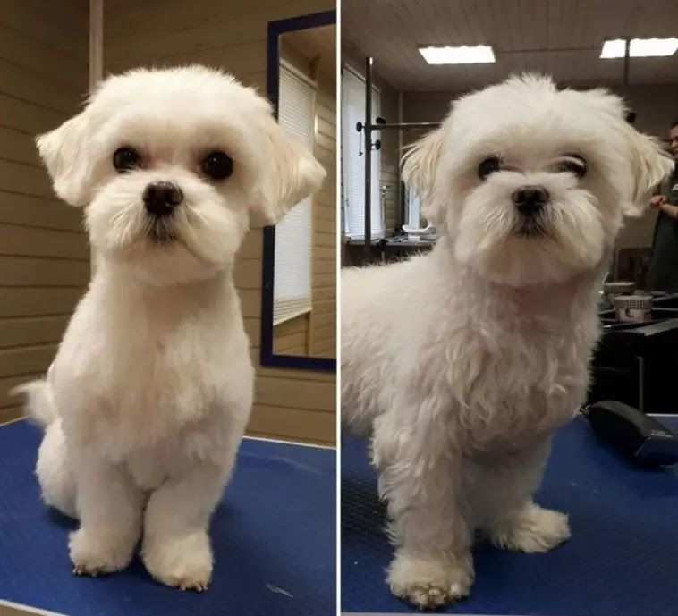 14 best maltese haircuts for dog lovers in 2020 maltese