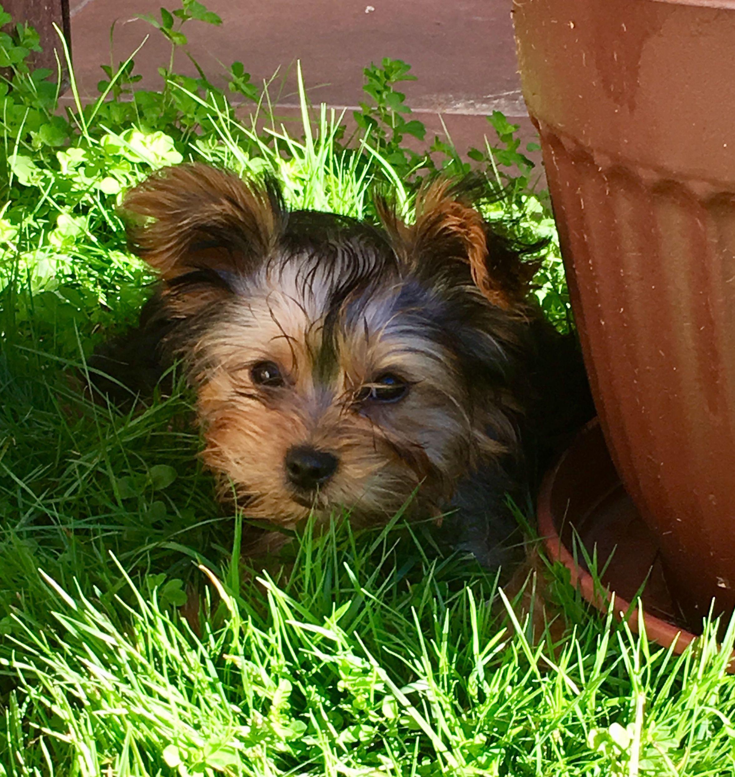 Yorkie Tobby En El Jardin West Highland Terrier Yorkshire Terrier Cute Dogs