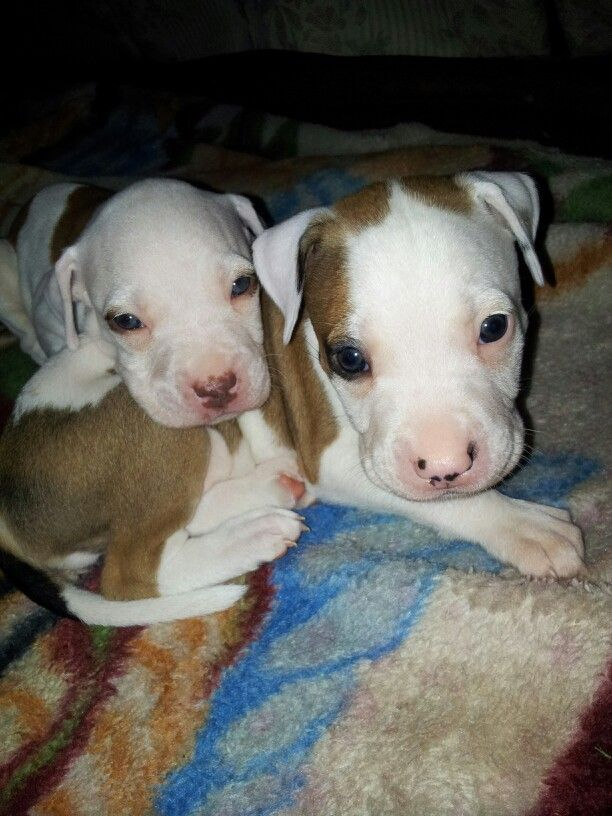 Brother And Sister Jadiel Amp Tiny Pitbull Gt Gt 1 Month