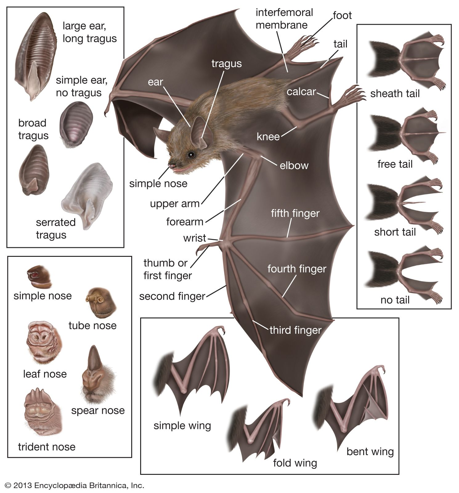 Features of typical microchiropteran bats pinterest features of typical microchiropteran bats pooptronica Images