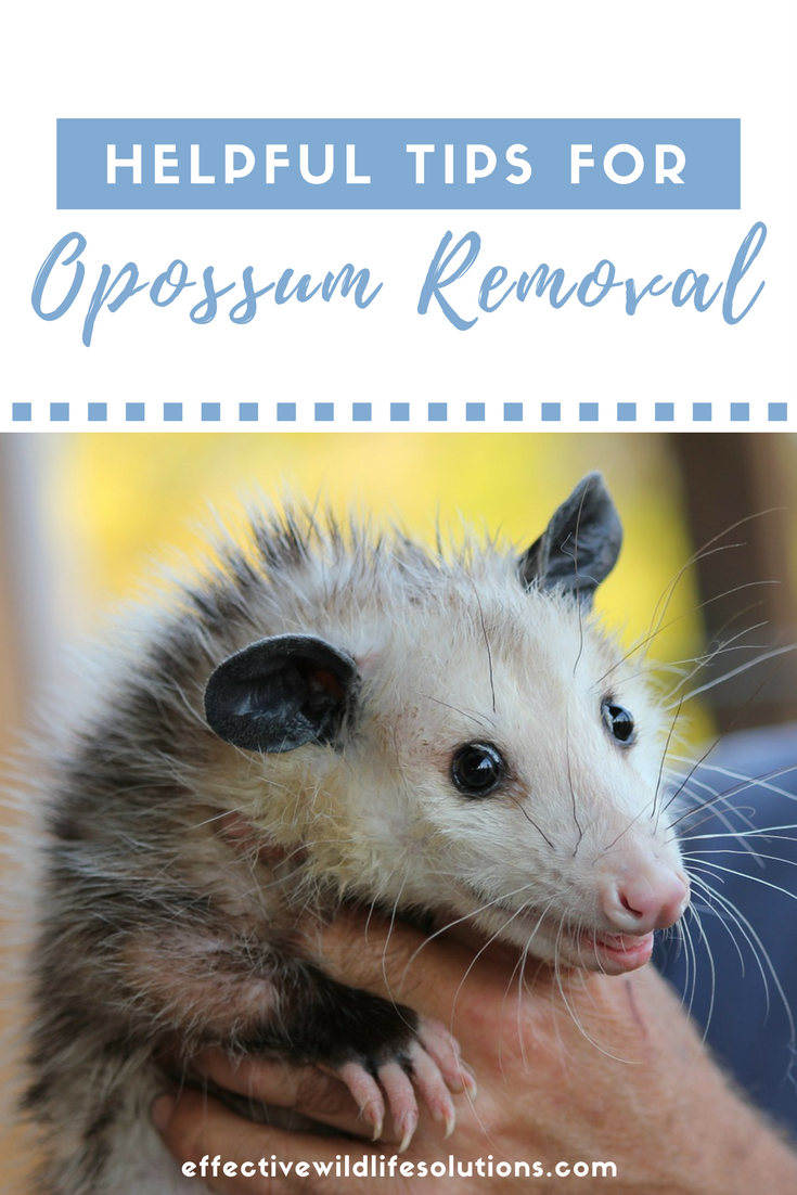 How To Get Rid Of Possums In Your Backyard | Homideal